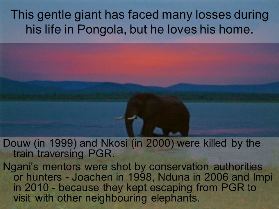 This gentle giant has faced many losses during his life in Pongola, but he loves his home.