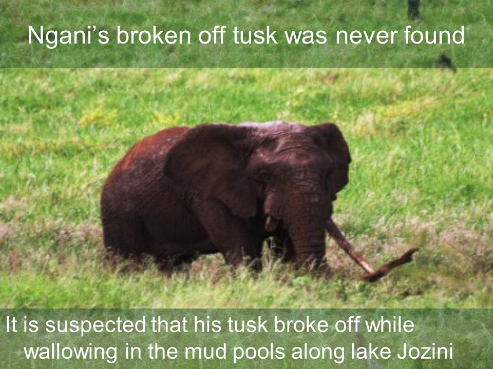 Ngani's broken off tusk was never found It is suspected that his tusk broke off while wallowing in the mud pools along lake Jozini