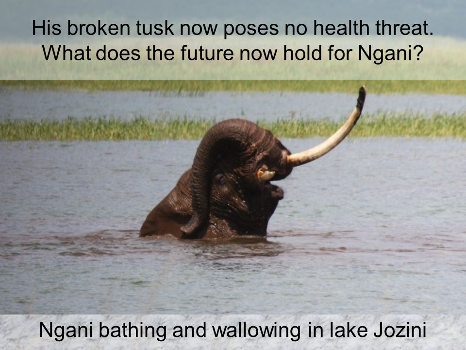 His broken tusk now poses no health threat. What does the future now hold for Ngani.