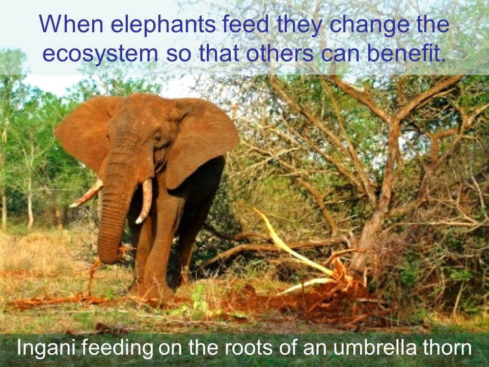 When elephants feed they change the ecosystem so that others can benefit. Ingani feeding on the roots of an umbrella thorn I
