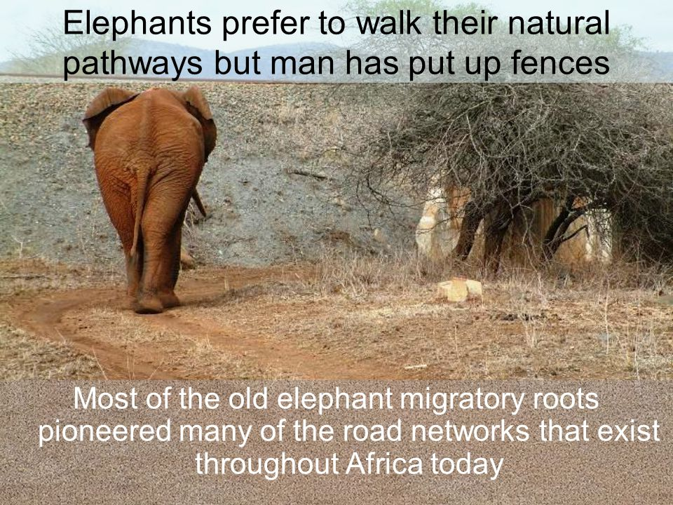 Elephants prefer to walk their natural pathways but man has put up fences Most of the old elephant migratory roots pioneered many of the road networks