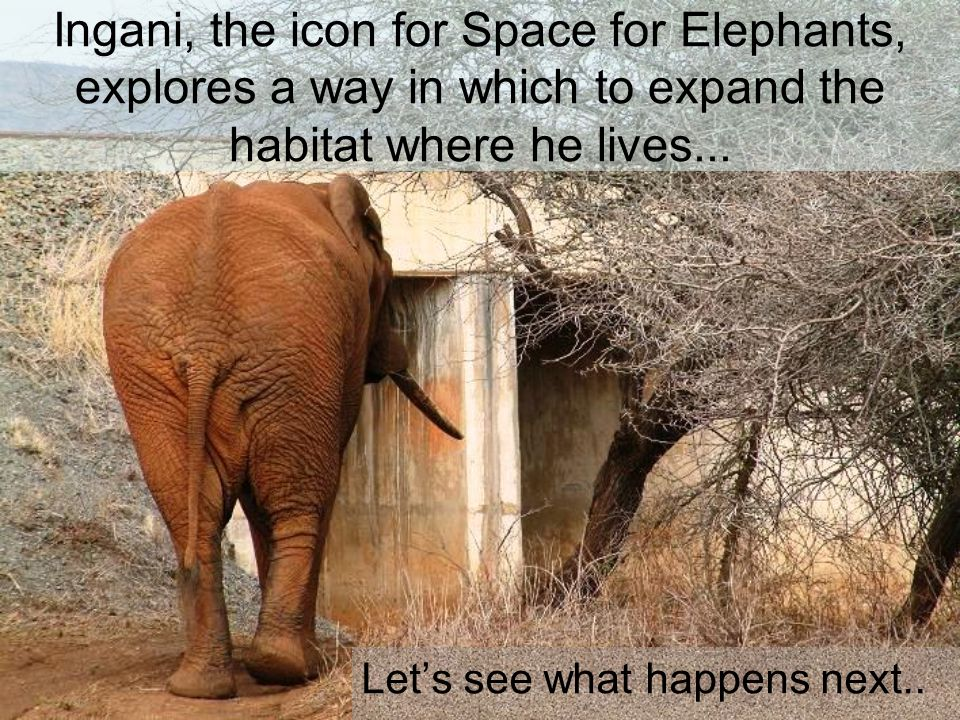 Ingani, the icon for Space for Elephants, explores a way in which to expand the habitat where he lives...