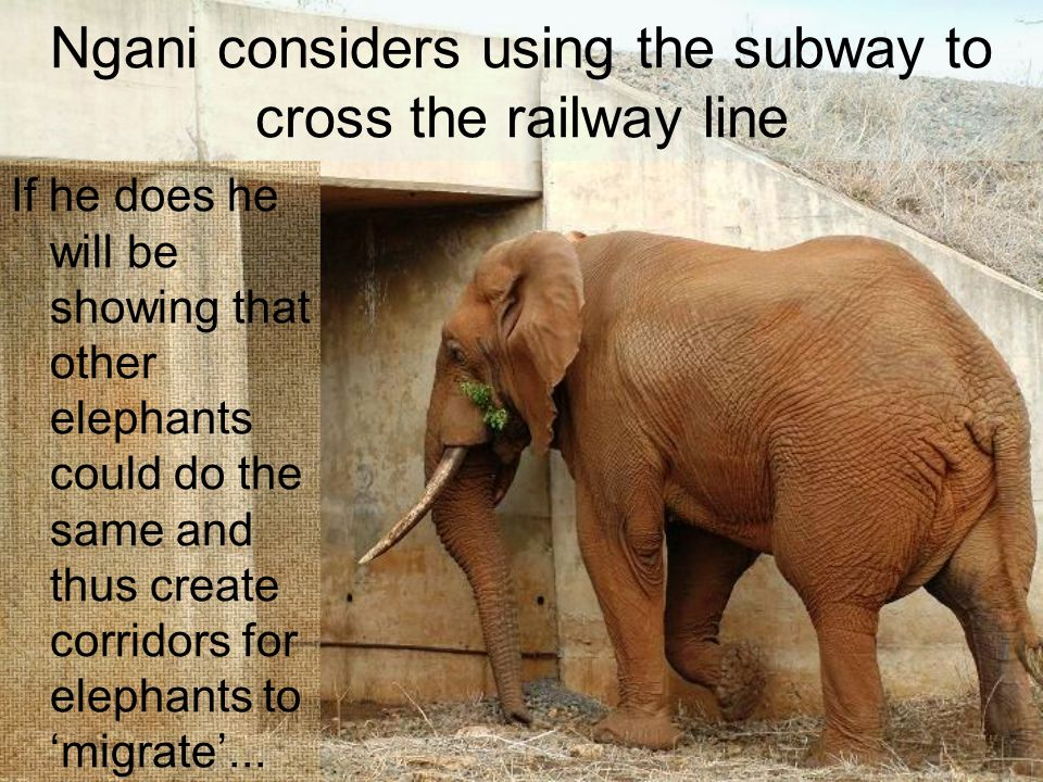 Ngani considers using the subway to cross the railway line If he does he will be showing that other elephants could do the same and thus create corrid