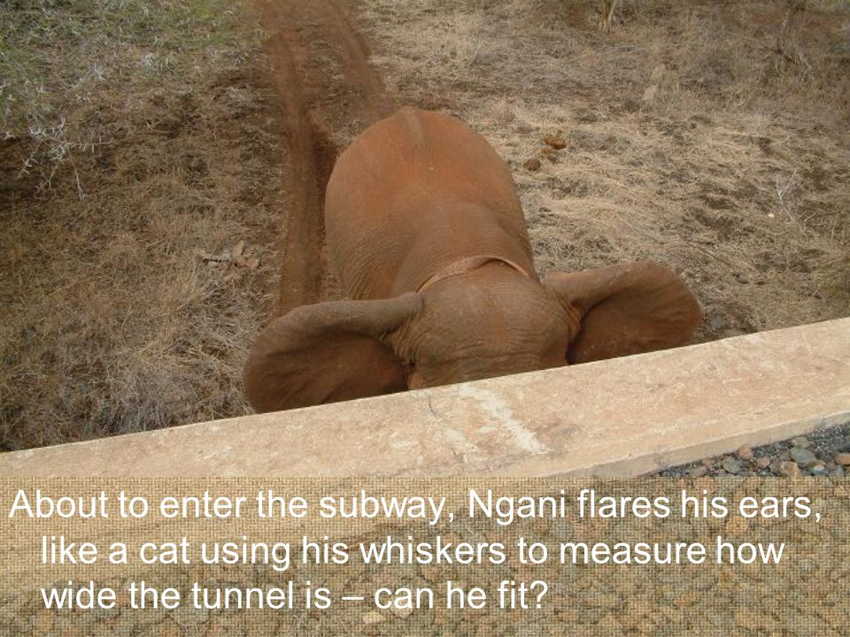 About to enter the subway, Ngani flares his ears, like a cat using his whiskers to measure how wide the tunnel is – can he fit?