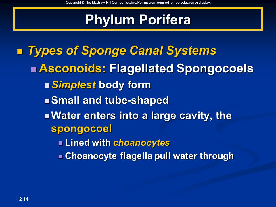 Copyright © The McGraw-Hill Companies, Inc. Permission required for reproduction or display. 12-14 Phylum Porifera Types of Sponge Canal Systems Types
