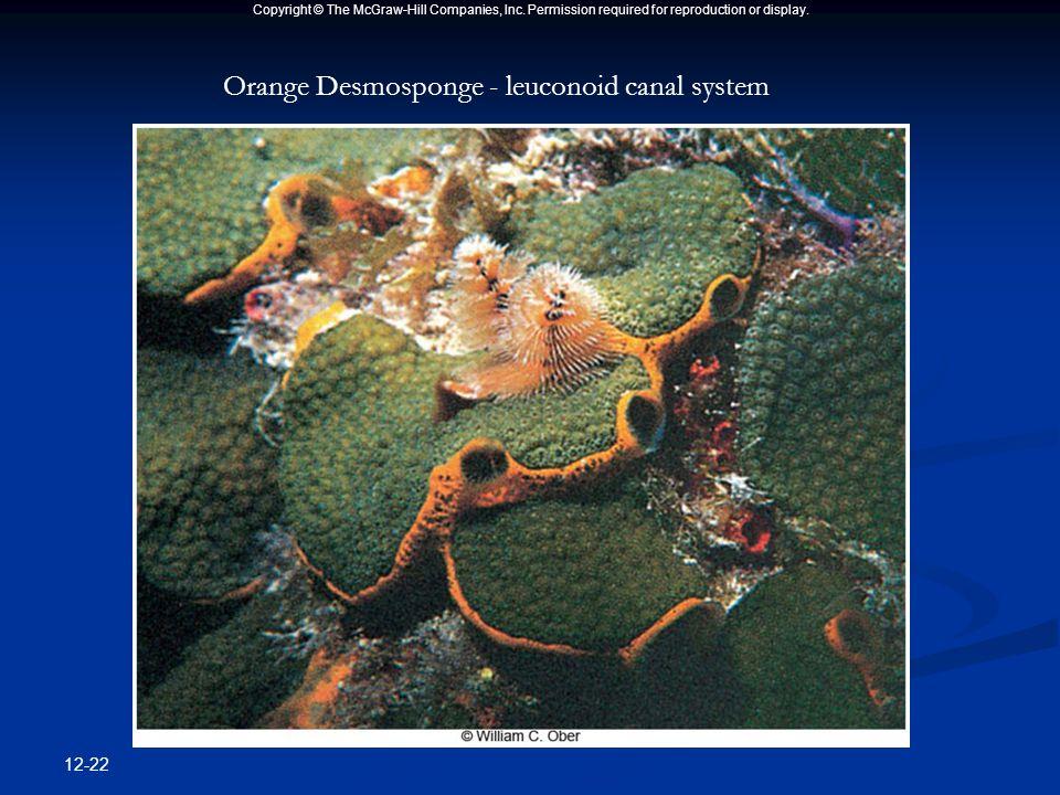 12-22 Orange Desmosponge - leuconoid canal system