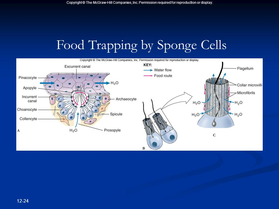 Copyright © The McGraw-Hill Companies, Inc. Permission required for reproduction or display. 12-24 Food Trapping by Sponge Cells