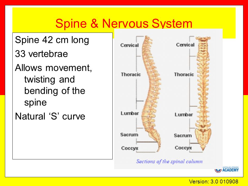 Version: 3.0 010908 Spine & Nervous System Spine 42 cm long 33 vertebrae Allows movement, twisting and bending of the spine Natural 'S' curve