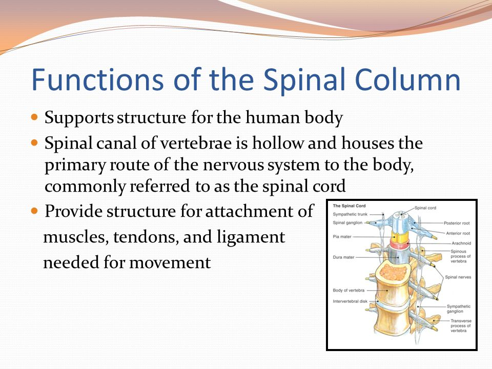 Functions of the Spinal Column Supports structure for the human body Spinal canal of vertebrae is hollow and houses the primary route of the nervous s