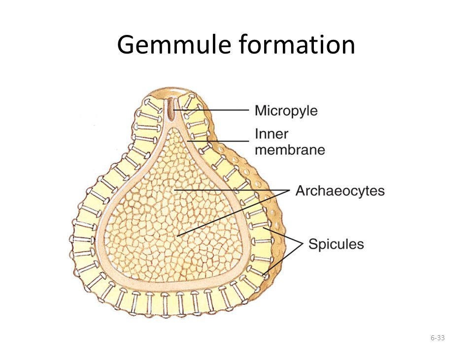 Gemmule formation 6-33