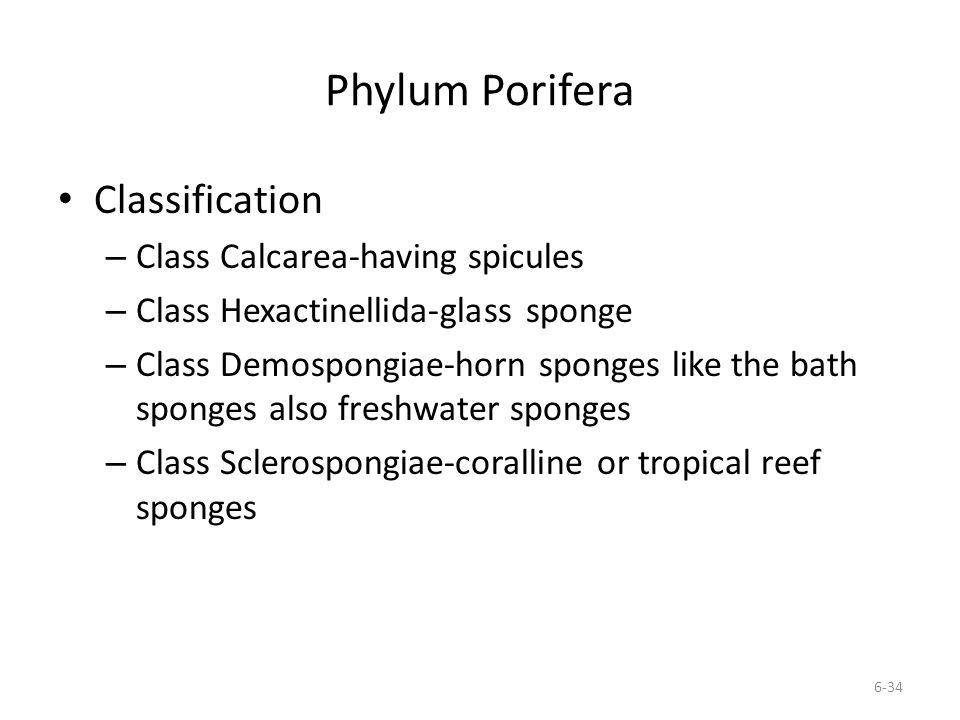 Phylum Porifera Classification – Class Calcarea-having spicules – Class Hexactinellida-glass sponge – Class Demospongiae-horn sponges like the bath sp
