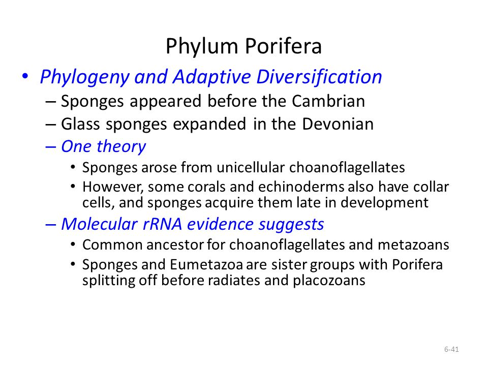 Phylum Porifera Phylogeny and Adaptive Diversification – Sponges appeared before the Cambrian – Glass sponges expanded in the Devonian – One theory Sp