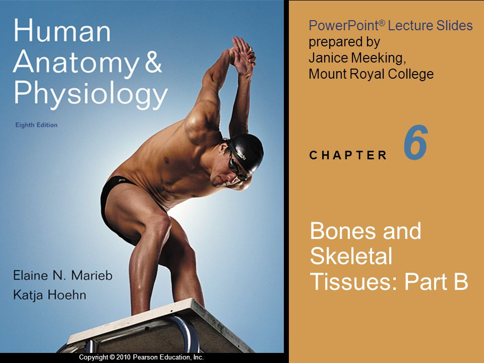 PowerPoint ® Lecture Slides prepared by Janice Meeking, Mount Royal College C H A P T E R Copyright © 2010 Pearson Education, Inc. 6 Bones and Skeleta