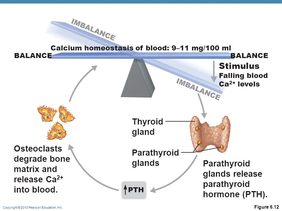 Copyright © 2010 Pearson Education, Inc. Figure 6.12 Osteoclasts degrade bone matrix and release Ca 2+ into blood. Parathyroid glands Thyroid gland Pa