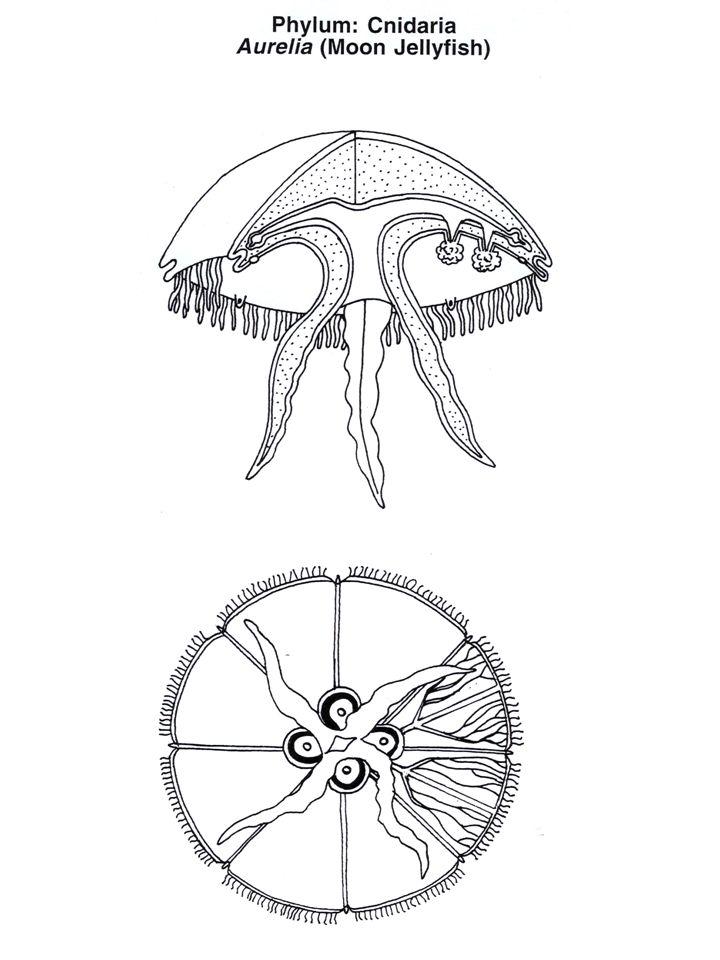 Proboscis Proboscis stalk Collar Gill pores Branchial region Midventral ridge Trunk Anus
