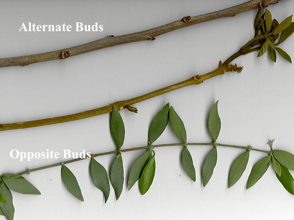 Alternate Buds Opposite Buds