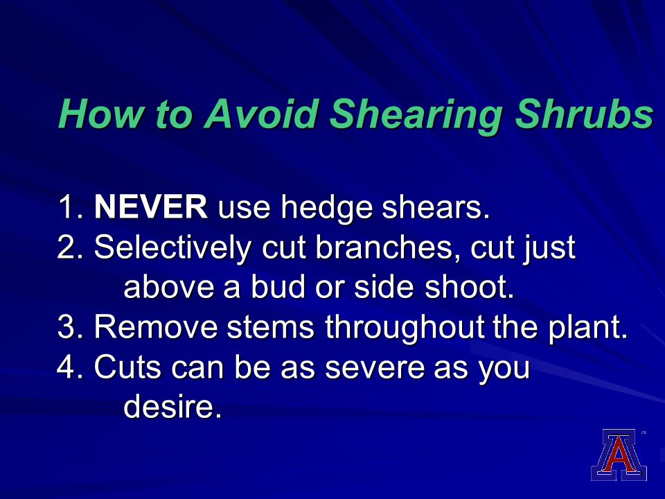 How to Avoid Shearing Shrubs 1. NEVER use hedge shears. 2. Selectively cut branches, cut just above a bud or side shoot. 3. Remove stems throughout th