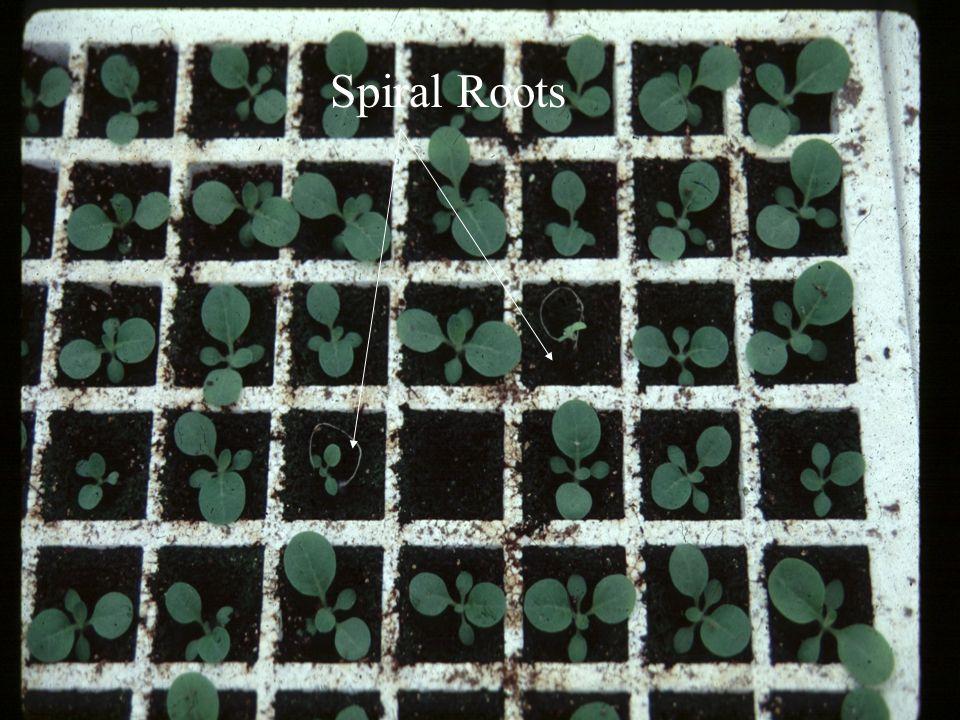 Spiral Roots