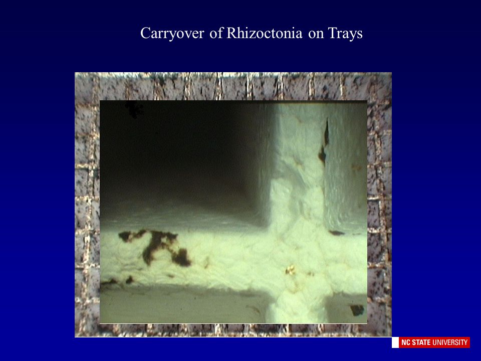 Carryover of Rhizoctonia on Trays