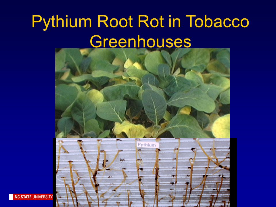 Pythium Root Rot in Tobacco Greenhouses