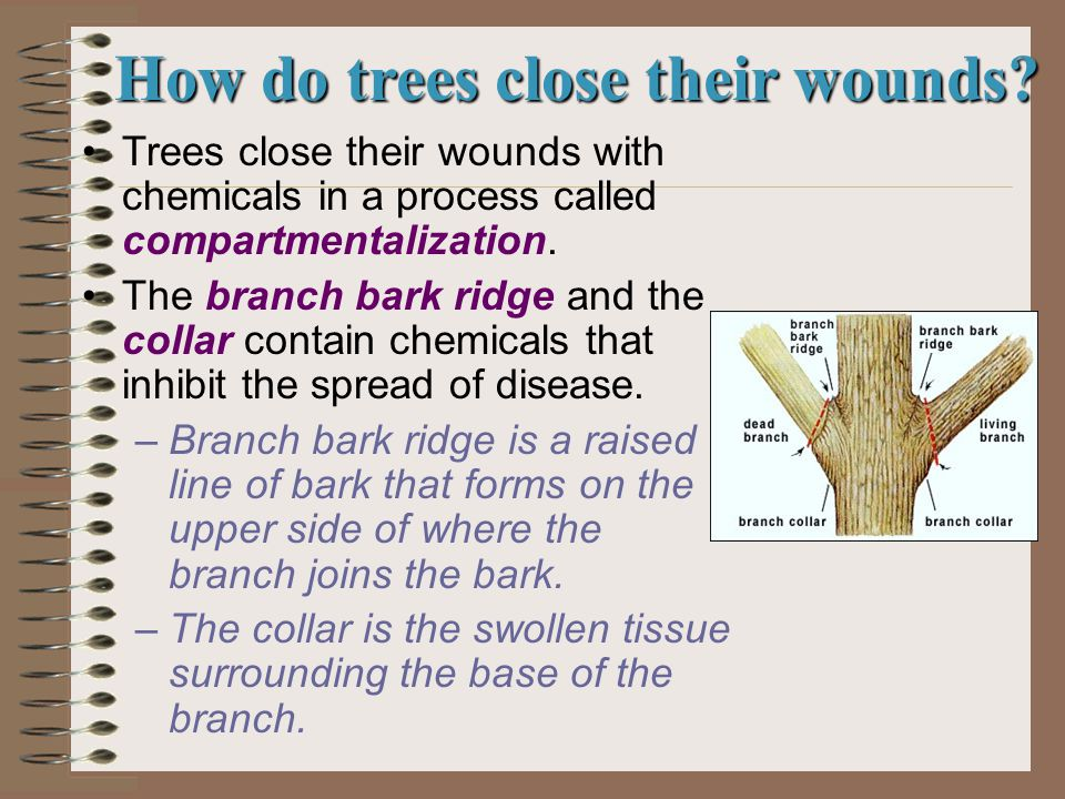 How do trees close their wounds.