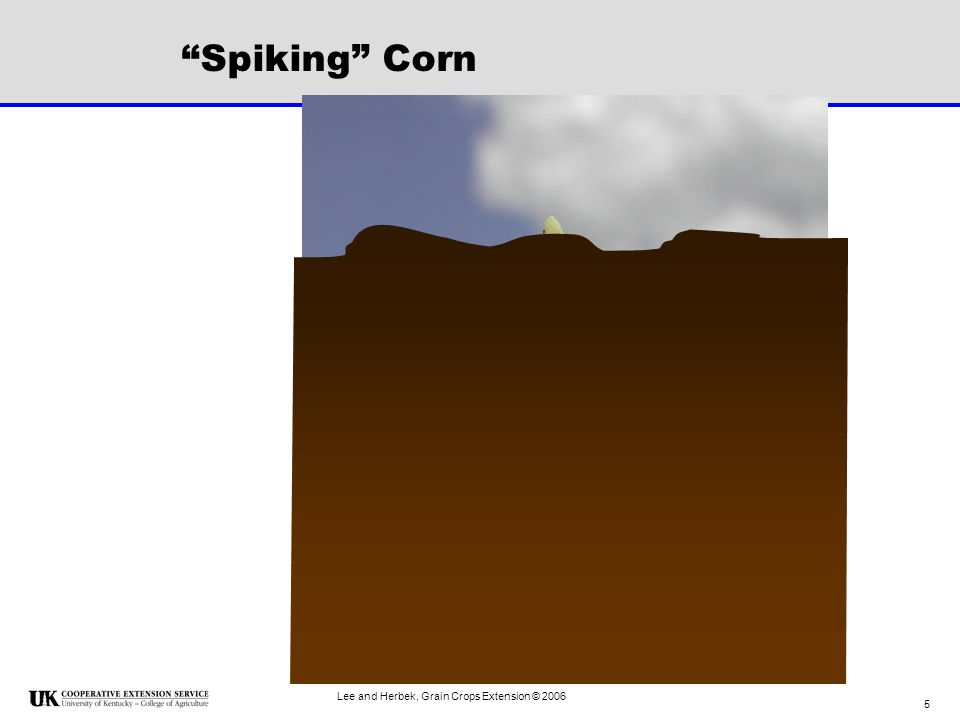 Lee and Herbek, Grain Crops Extension © 2006 56 Keys to High Yields 90 to 95% light interception at silking (R1) –Row spacing and population –Planting date –Hybrid Maturity