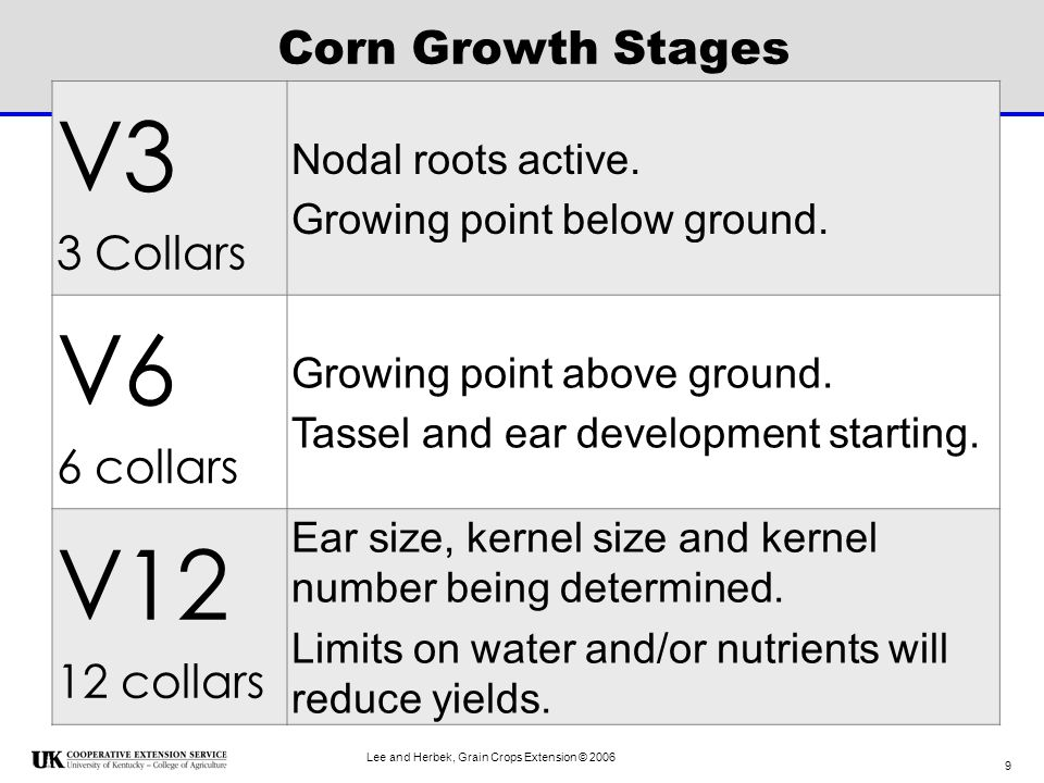Lee and Herbek, Grain Crops Extension © 2006 20 V15 About 10-12 days from silking.