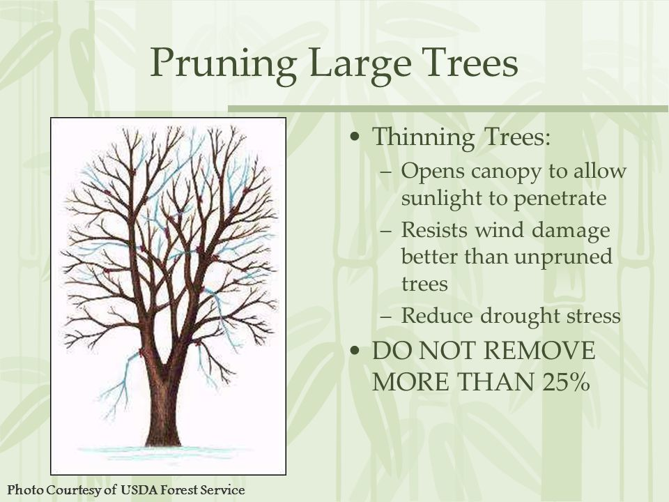 Pruning Large Trees Thinning Trees: –Opens canopy to allow sunlight to penetrate –Resists wind damage better than unpruned trees –Reduce drought stress DO NOT REMOVE MORE THAN 25% Photo Courtesy of USDA Forest Service