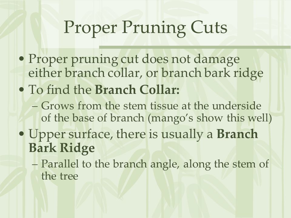 Proper Pruning Cuts Proper pruning cut does not damage either branch collar, or branch bark ridge To find the Branch Collar: –Grows from the stem tissue at the underside of the base of branch (mango's show this well) Upper surface, there is usually a Branch Bark Ridge –Parallel to the branch angle, along the stem of the tree