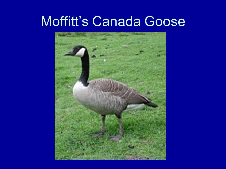 Moffitt's Canada Goose