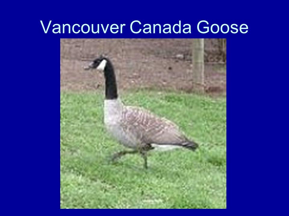 Vancouver Canada Goose