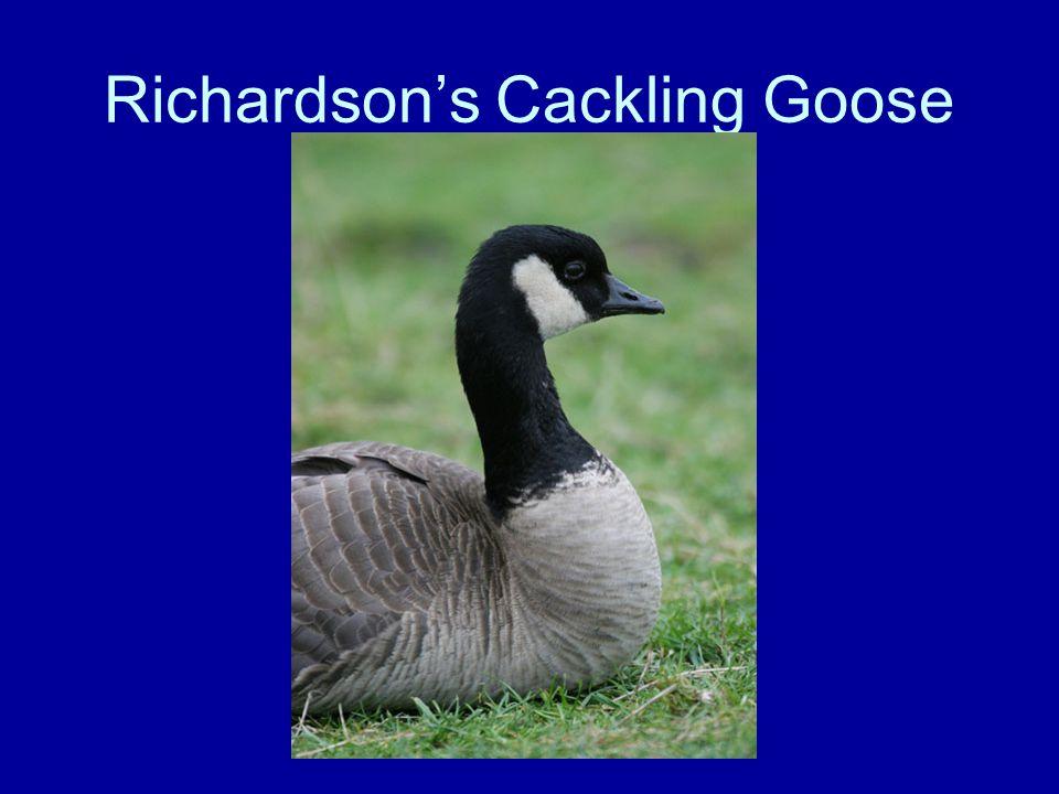 Richardson's Cackling Goose