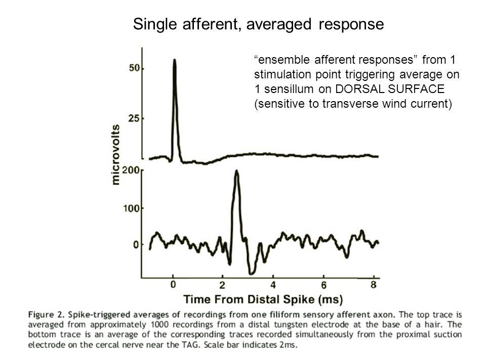 "Single afferent, averaged response ""ensemble afferent responses"" from 1 stimulation point triggering average on 1 sensillum on DORSAL SURFACE (sensiti"