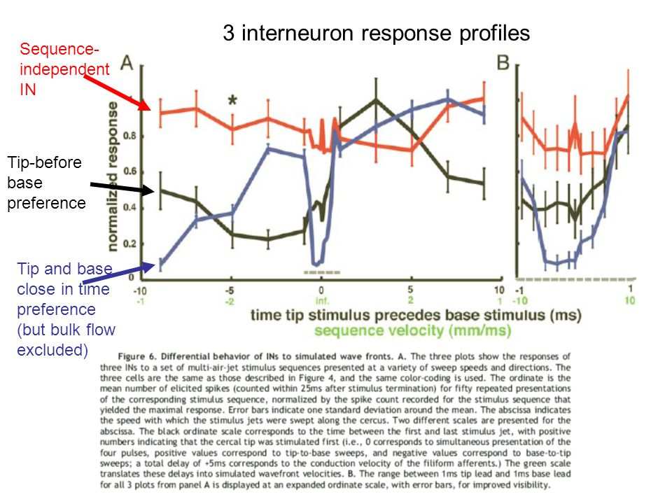 3 interneuron response profiles Sequence- independent IN Tip and base close in time preference (but bulk flow excluded) Tip-before base preference