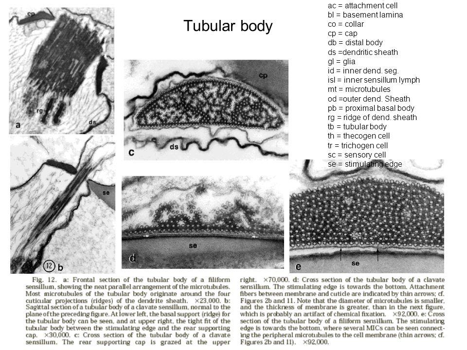 Tubular body ac = attachment cell bl = basement lamina co = collar cp = cap db = distal body ds =dendritic sheath gl = glia id = inner dend.