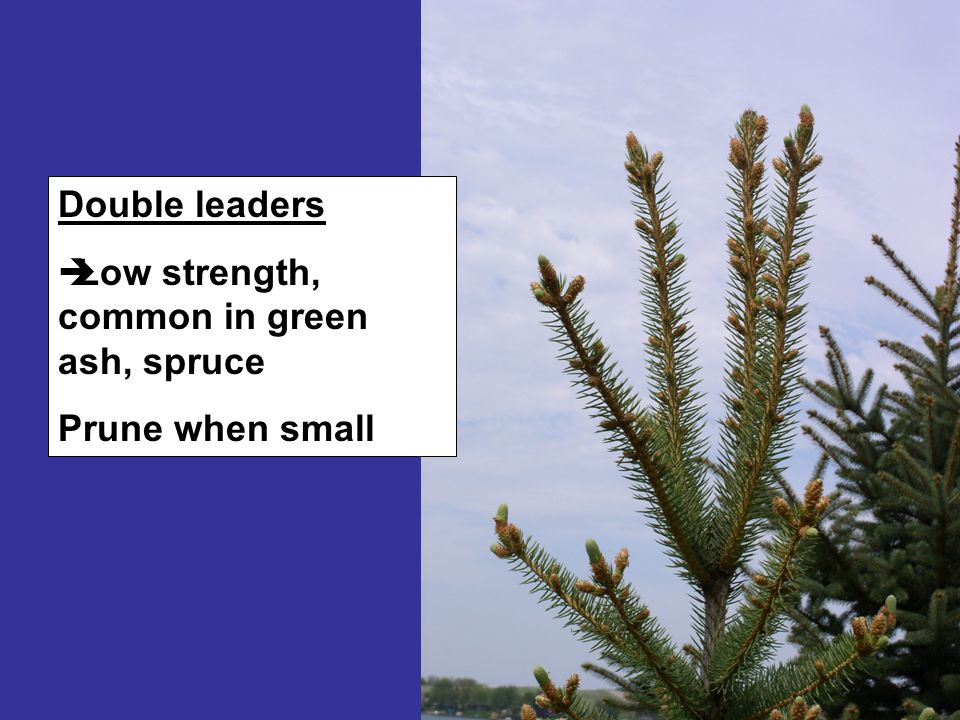 Double leaders  Low strength, common in green ash, spruce Prune when small