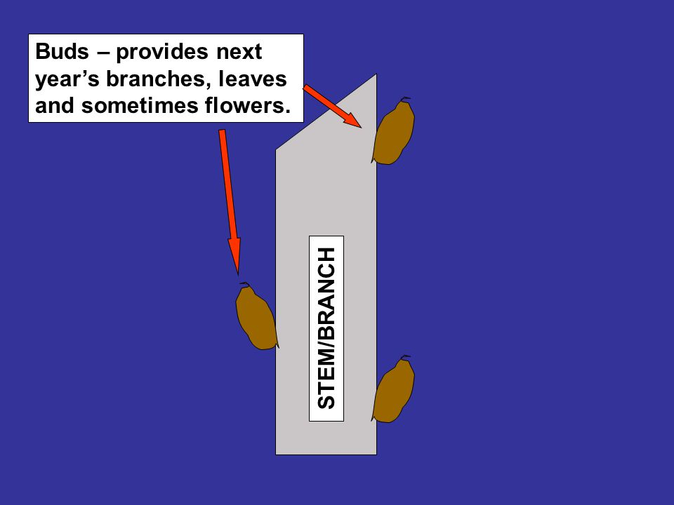STEM/BRANCH Buds – provides next year's branches, leaves and sometimes flowers.