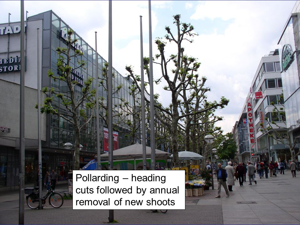 Pollarding – heading cuts followed by annual removal of new shoots