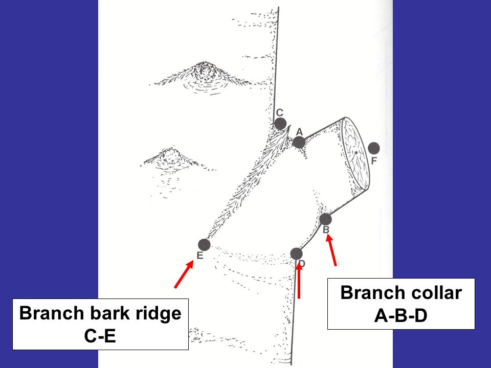 Branch collar A-B-D Branch bark ridge C-E