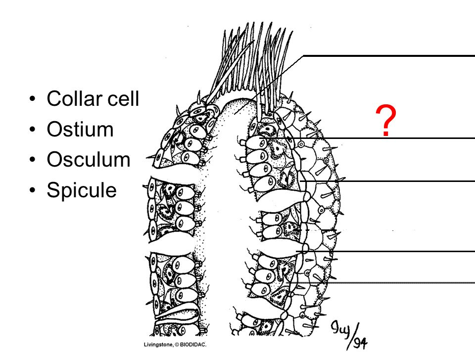 Collar cell Ostium Osculum Spicule ?