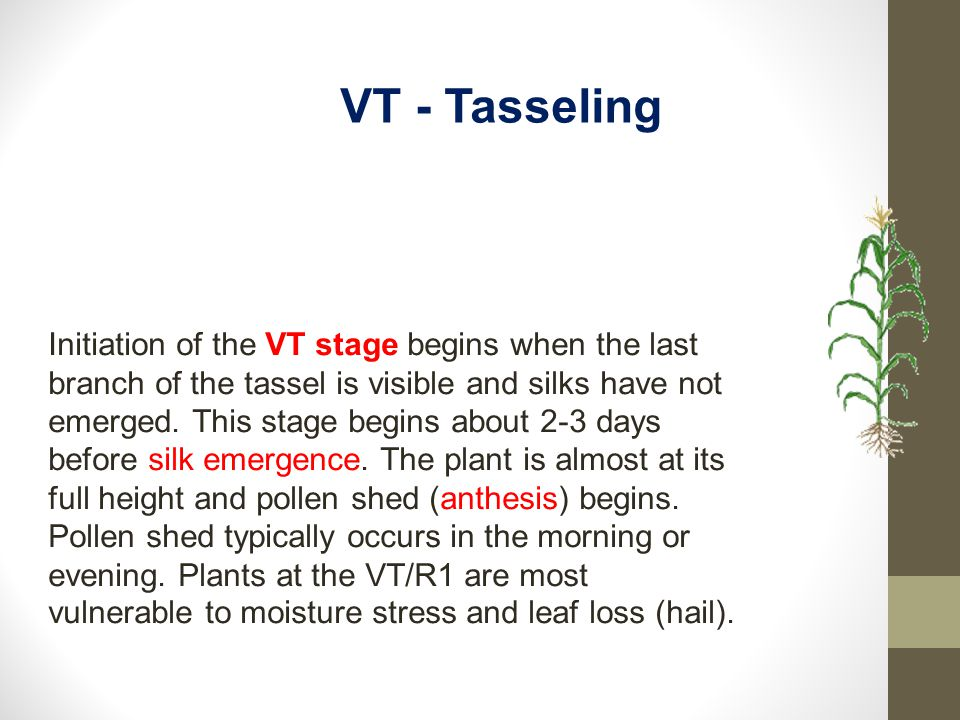 Initiation of the VT stage begins when the last branch of the tassel is visible and silks have not emerged. This stage begins about 2-3 days before si