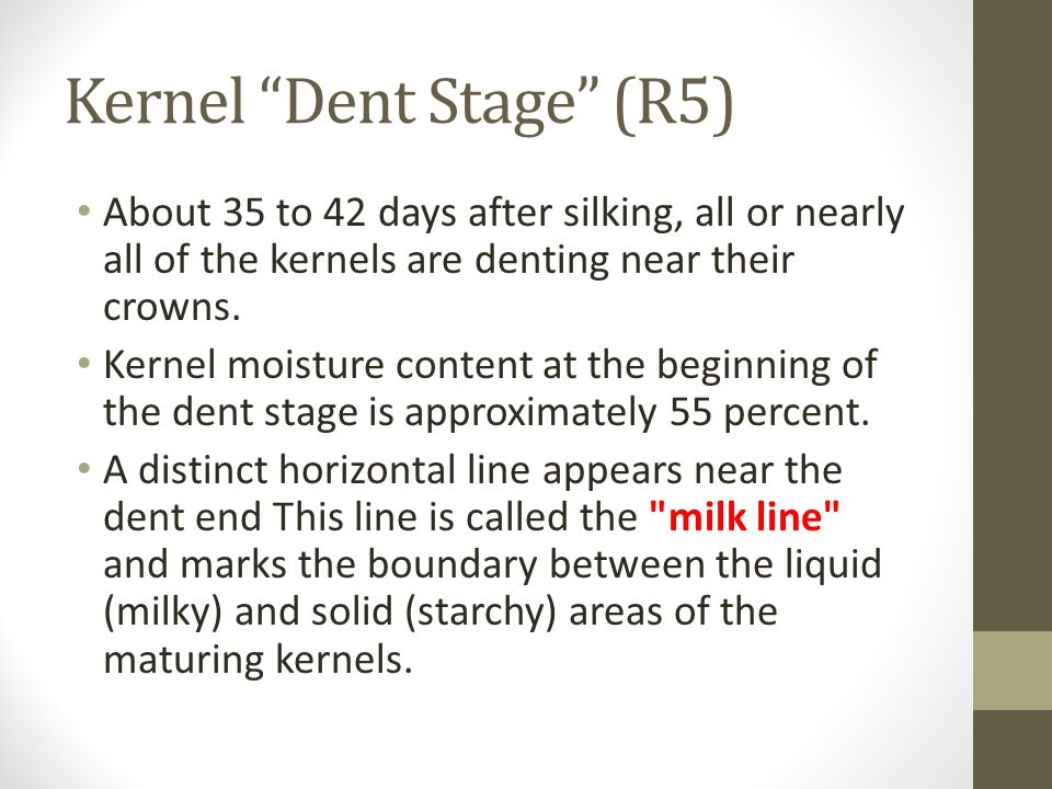 """Kernel """"Dent Stage"""" (R5) About 35 to 42 days after silking, all or nearly all of the kernels are denting near their crowns. Kernel moisture content at"""