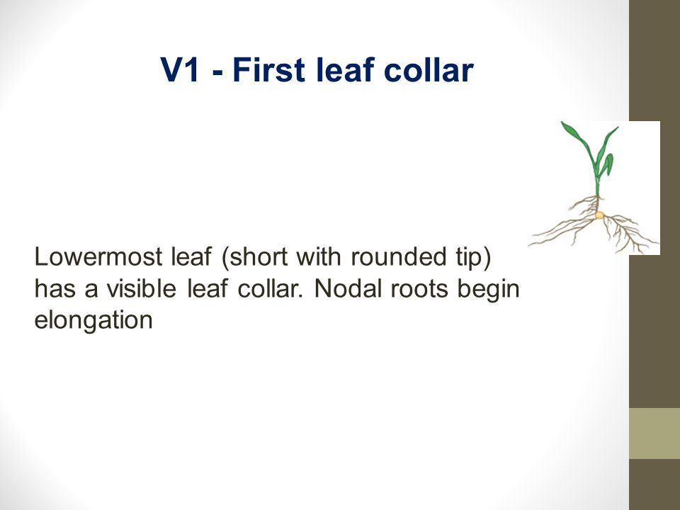 Lowermost leaf (short with rounded tip) has a visible leaf collar. Nodal roots begin elongation V1 - First leaf collar