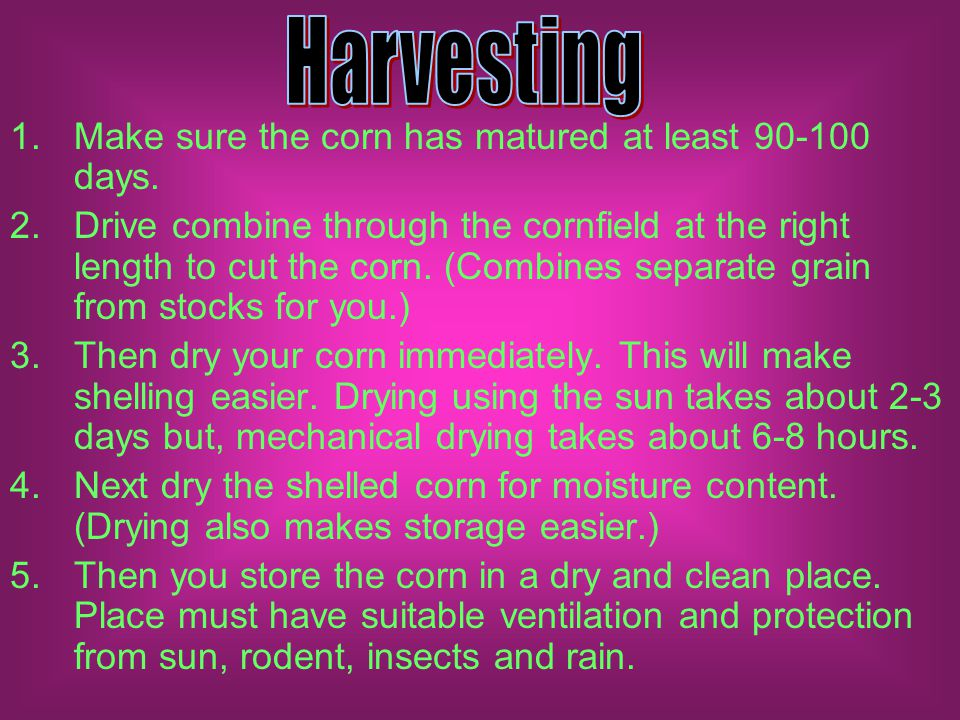 1.Make sure the corn has matured at least 90-100 days.