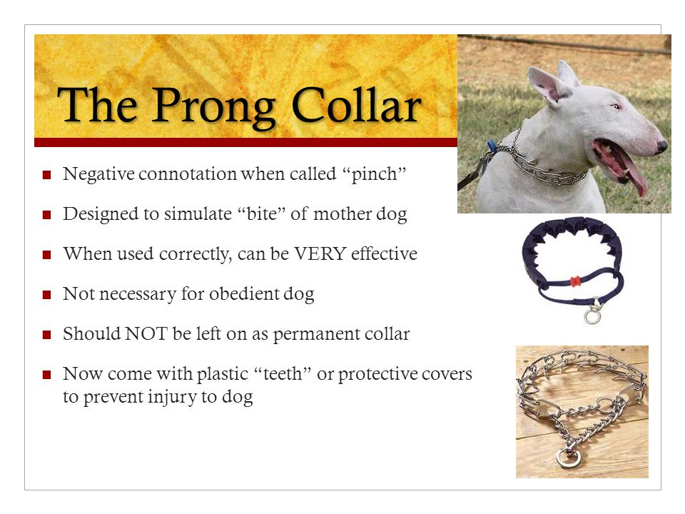The Prong Collar Negative connotation when called pinch Designed to simulate bite of mother dog When used correctly, can be VERY effective Not necessary for obedient dog Should NOT be left on as permanent collar Now come with plastic teeth or protective covers to prevent injury to dog