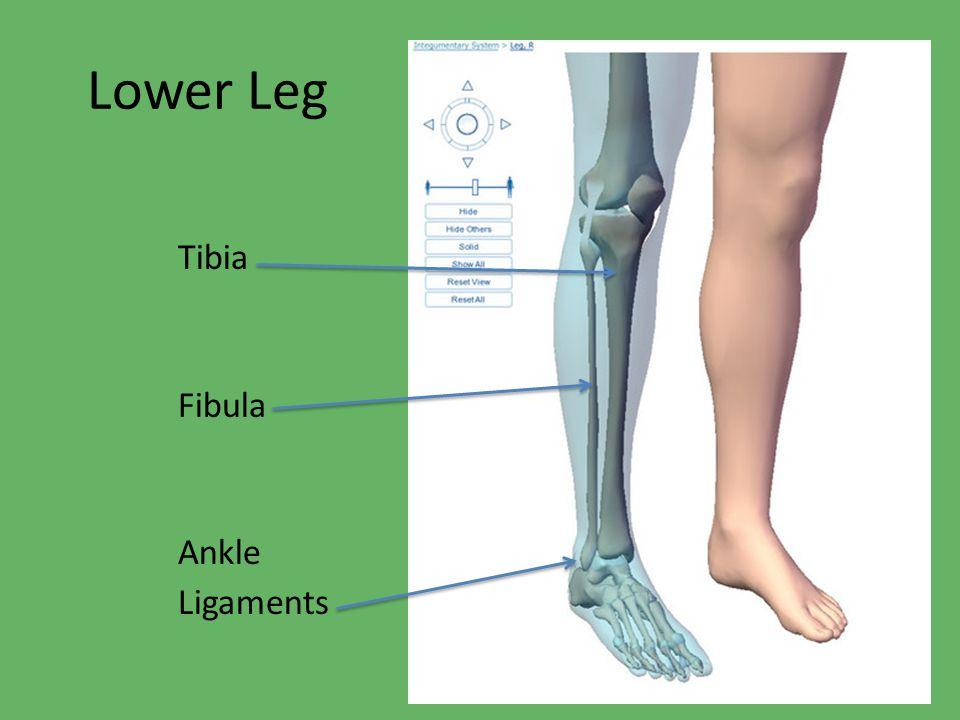 Lower Leg Tibia Fibula Ankle Ligaments