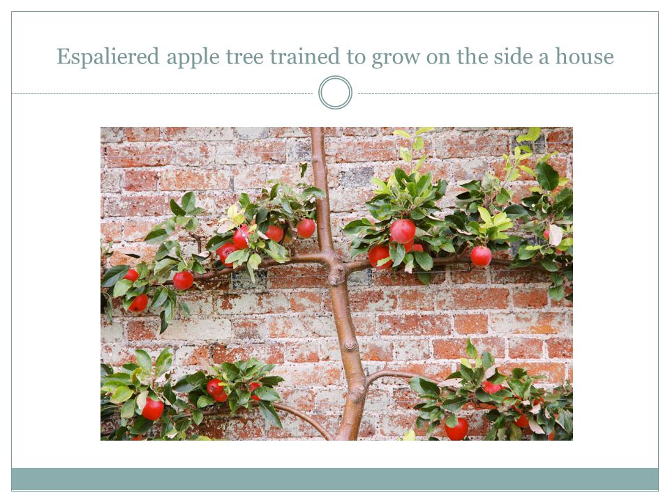 Espaliered apple tree trained to grow on the side a house