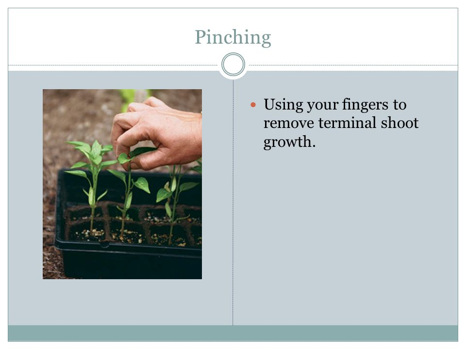 Pinching Using your fingers to remove terminal shoot growth.