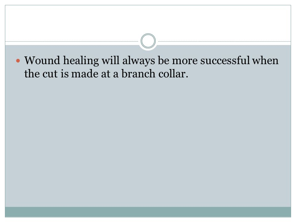 Wound healing will always be more successful when the cut is made at a branch collar.