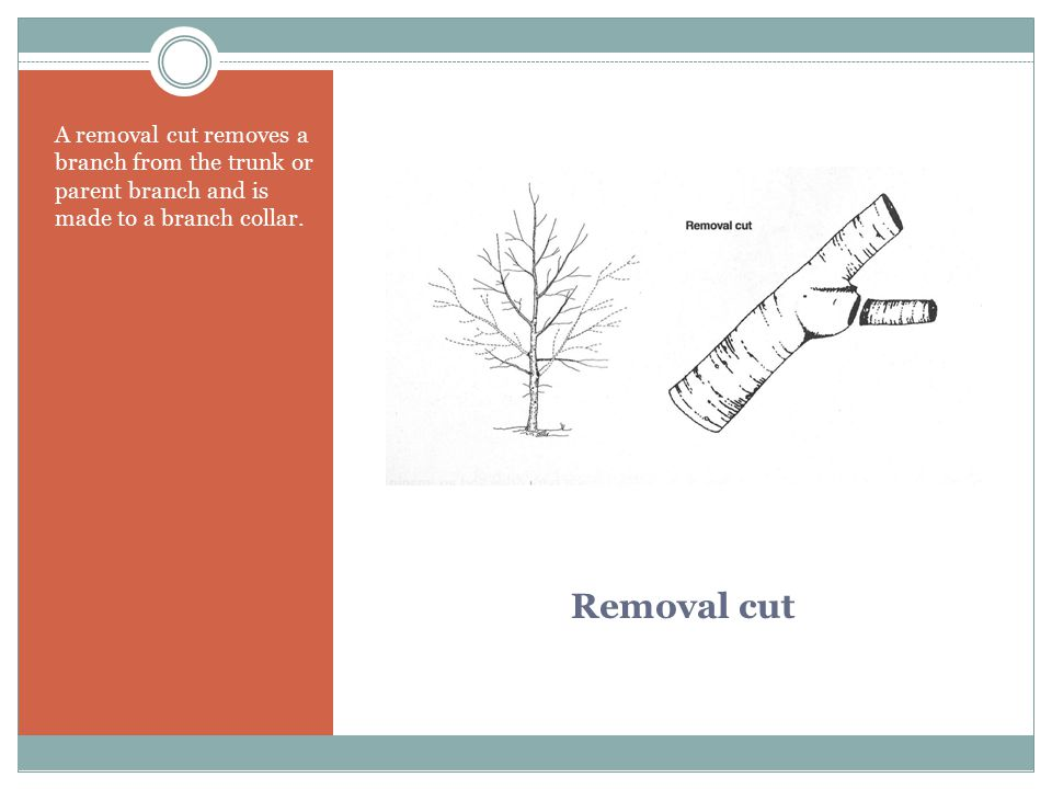 Removal cut A removal cut removes a branch from the trunk or parent branch and is made to a branch collar.